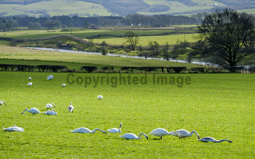 A group of swans in a field near the rived Clyde in South Lanarkshire in early spring, Scotland uk,u.k,Great Britain,GB,G.B,Scotland,Scottish,nobody,daytime,Cygnus,bird,cignet,feeding,early spring,swan,white,wild,wildlife,South Lanarkshire