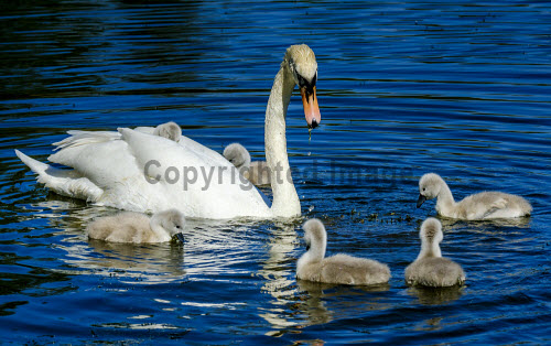 Recently hatched cygnets with their parents at the boating pond in Biggar, South Lanarkshire, Scotland uk,u.k,Great Britain,GB,G.B,Scotland,Scottish,nobody,daytime,swan,adult,parent,male,female,cygnet,young,hatched,spring,boating pond,Biggar,South Lanarkshire,swans,cygnets,babies,birds