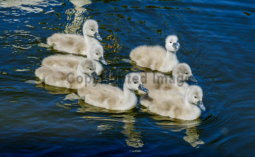 Recently hatched cygnets with their parents at the boating pond in Biggar, South Lanarkshire, Scotland uk,u.k,Great Britain,GB,G.B,Scotland,Scottish,nobody,daytime,swan,cygnet,young,hatched,spring,boating pond,Biggar,South Lanarkshire,swans,cygnets,babies,birds