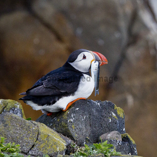 A puffin on Isle of May, Scotland uk,u.k,Great Britain,GB,G.B,Scotland,Scottish,nobody,daytime,outdoors,Nesting,puffin,bird reserve,Bird sanctuary,research station,Isle of May,birds,sea,fish,beak