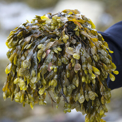 New Wave Foods, Wick, Caithness   Tom McGee on the seashore at Ackergill beach  Pic Credit Angus Mackay/HIE 2016,New Wave,caithness,edible,seaweed,sustainable,food