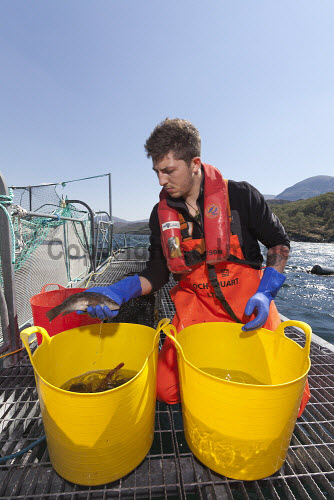 Loch Duart Salmon  Staff member with wrasse  Picture Credit : Gary Doak 2016,Loch Duart,salmon,aquaculture,sutherland,badcall,fishing,cages,cage,pens,pen,workers,worker,fish