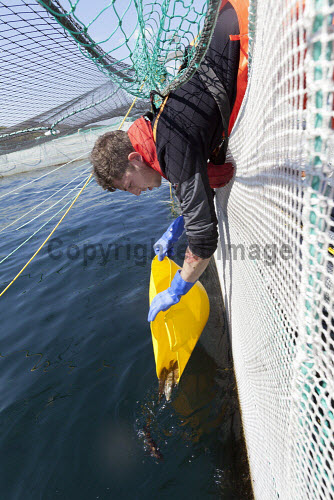 Loch Duart Salmon  Staff member releasing wrasse into pens  Picture Credit : Gary Doak 2016,Loch Duart,salmon,aquaculture,sutherland,badcall,fishing,cages,cage,pens,pen,workers,worker,fish