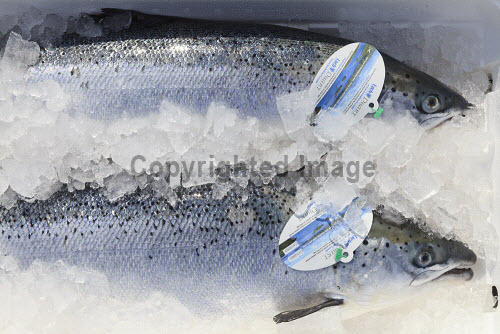 Loch Duart Salmon  Tagged salmon on ice ready for sale  Picture Credit : Gary Doak 2016,Loch Duart,salmon,aquaculture,sutherland,badcall,fishing,fish