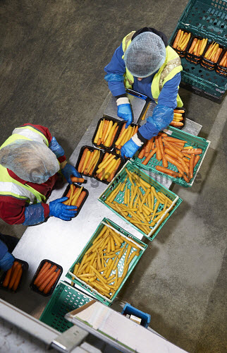 NessGro Ltd - Specialists in Organic Root Vegetable Production, Dalcross Industrial Estate near Inverness, Highland...Pictured here employees sorting carrots in the production facility...Picture Credit : Ewen Weatherspoon / HIE 2013,highlands,islands,enterprise,organic,farming,arable,crop,root,vegetable,vegetables,supply,supplier,growing,grower,pack,packing,interior,carrot