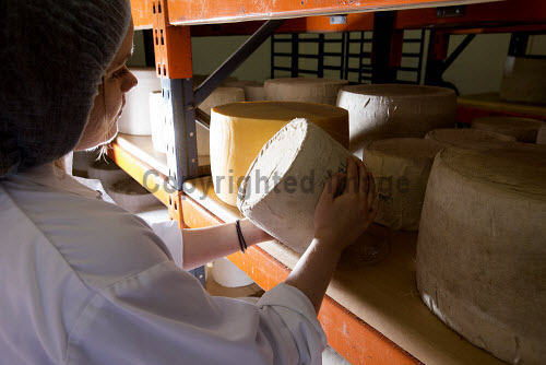 Connage Highland Dairy - organic dairy farm selling a distinctive collection of handcrafted farmhouse cheeses, Milton of Connage, Inverness, Highlands of Scotland.  Pictured here checking the cheese in storage.  Picture Credit : John Paul / HIE 2013,interior,highland,islands,enterprise,family,business,traditional,farming,agriculture,product,production,manufacture,food