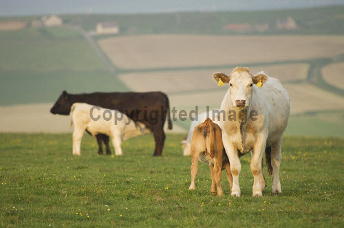 Cattle at Marwick, Mainland, Orkney..Picture Credit : Iain Sarjeant 2012,island,islands,isle,isles,summer,sunny,agriculture,livestock,animal,animals,graze,grazing,farm,farms,farming,calf,calves,countryside,feed,feeding,suckling,scenic