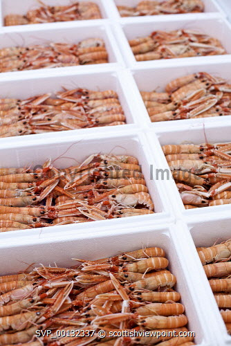 Langoustines in the Scot West Seafood freezer .Picture Credit Marcus McAdam /HIE Kyle of Lochalsh,Scot West Seafoods,Seafood,produce,food,business,method,shellfish,2010