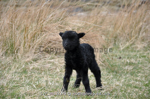 A newly born Hebridean Sheep lamb, Isle of Skye, Inner Hebrides.  Picture Credit : Andy Law / HIE 2010,highlands,islands,enterprise,spring,scenic,island,isle,isles,croft,crofting,small,holding,agriculture,farm,farms,farming,livestock,animal,animals,graze,field,fields,highland,black