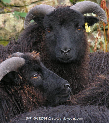 Hebridean Sheep, Isle of Skye, Inner Hebrides.