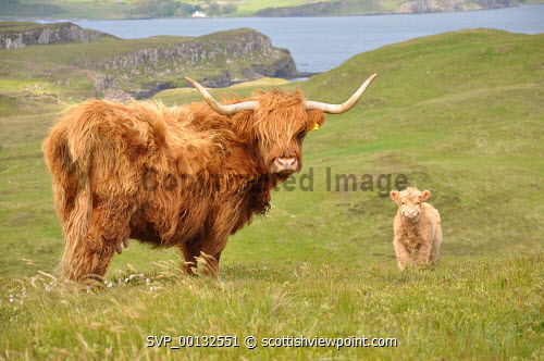 A Highland Cow and calf, north Skye, Inner Hebrides.