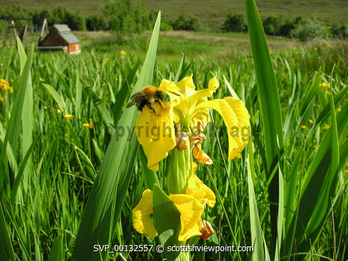 Bumble Bee on a flag iris with a chicken pen in the background on a croft, Isle of Skye, Inner Hebrides.