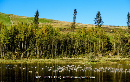 A flock of geese arrive at a little man made lochan in Dumfries and Galloway near the A702 at Glencairn Parish Church uk,u.k,Great Britain,GB,G.B,Scotland,Scottish,nobody,daytime,outdoors,Geese,autumn colour,landing,Dumfries & Galloway,loch,Pink-footed geese,migrating,birds,bird,water