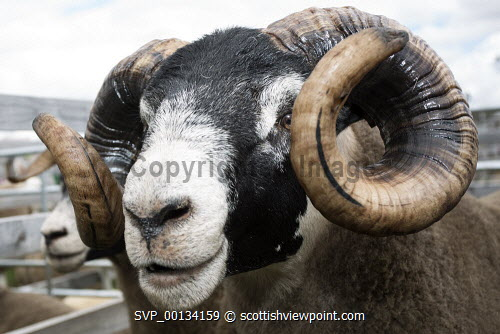 Blackfaced Ram with big horns on show at Dumfries and Lockerbie Agricultural Show 2018, Scotland uk,u.k,Great Britain,GB,G.B,Scotland,Scottish,nobody,Blackfaced,Black,Faced,ram,sheep,male,horn,horns,curly,Dumfries,Lockerbie,agricultural,show,farm,farming,farmers,livestock,judge,judging,Park,and,Galloway