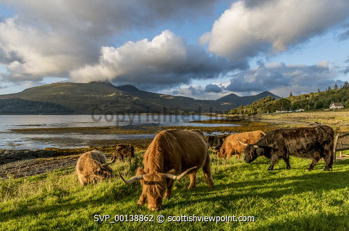 Highlands cows at Pennyghael and Loch Scridain, Isle of Mull argyll,mull,hebrides,pennyghael,loch scridain,animals,crofting,sweet,dramatic,hebridean,peaceful,pretty,restful,summer,sunny,highland cattle,amber,brown,colourful,loch,shore,sea,rough pasture,rocks,mountains,horns,herd,cows,cow