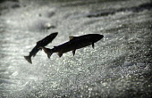 SALMON JUMPING ,RIVER TWEED, KELSO, SCOTTISH BORDERS. PIC: ANGUS BLACKBURN/SCOTTISH VIEWPOINTTel: +44 (0) 131 622 7174  Fax: +44 (0) 131 622 7175E-Mail : info@scottishviewpoint.comThis photograph cann... Salmon. Junction Pool. Scottish Borders,FISH,FISHING,LEAPING