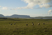 Sheep grazing in a field, Stenness, Orkney. PIC: DOUG HOUGHTON/SCOTTISH VIEWPOINT  Tel: +44 (0) 131 622 7174  Fax: +44 (0) 131 622 7175  E-Mail : info@scottishviewpoint.com  This photograph cannot be... DOUG HOUGHTON/SCOTTISH VIEWPOINT farming,clean,fresh,isolated,isolation,agriculture,agricultural,rural,country,side,countryside,remote,animal,mammal,grazer,fed,eating,graze,grass,grase,wool,fleeces,wooly,stock,flock,farm,livestock,la