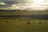 Sheep grazing in a field, Sandwick, Orkney. PIC: DOUG HOUGHTON/SCOTTISH VIEWPOINT  Tel: +44 (0) 131 622 7174  Fax: +44 (0) 131 622 7175  E-Mail : info@scottishviewpoint.com  This photograph cannot be... DOUG HOUGHTON/SCOTTISH VIEWPOINT farming,clean,fresh,isolated,isolation,agriculture,agricultural,rural,country,side,countryside,remote,animal,mammal,grazer,fed,eating,graze,grass,grase,wool,fleeces,wooly,stock,flock,farm,livestock,la