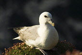 A fulmar (Fulmarus Glacialis) nesting on seacliffs at Marwick Head, a RSPB Bird Nature reserve, Mainland, Orkney. PIC: DOUG HOUGHTON/SCOTTISH VIEWPOINT  Tel: +44 (0) 131 622 7174  Fax: +44 (0) 131 622... DOUG HOUGHTON/SCOTTISH VIEWPOINT bird,seabird,sea,water,species,wild,life,wildlife,ornithology,avian,feather,feathered,creature,creatures,nestling,nests,nest,site,sit,sits,rspb,snh,royal,society,protection,birds,scottish,natural,heri