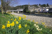 Spring daffodils on the banks of the River Esk looking up to Langholm Bridge built by Thomas Telford at Langholm Dumfries and Galloway Scotland UK PIC : ALLAN DEVLIN/SCOTTISH VIEWPOINT  Tel: +44 (0) 1... ALLAN DEVLIN/SCOTTISH VIEWPOINT thomas,telford,civil,engineer,engineering,langholm,bridge,river,esk,spring,daffodils,flowers,water,town,dumfries,and,galloway,scotland,uk
