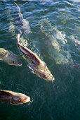 Shoal of cod swimming on the sea surface at a fish farm. PIC: DOUG HOUGHTON/SCOTTISH VIEWPOINT  Tel: +44 (0) 131 622 7174  Fax: +44 (0) 131 622 7175  E-Mail : info@scottishviewpoint.com  This photogra... DOUG HOUGHTON/SCOTTISH VIEWPOINT organic,aquaculture,aquacultural,resources,seafood,food,fishery,industry,outside,outdoors,produce,fishing,nourishment,nutrient,diet,seawater,fish,group,school,swim,scots,scotch,north,scotland,scottish