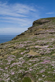 A carpet of pink flowers at the seacliff top, Marwick Head, Mainland, Orkney. PIC: DOUG HOUGHTON/SCOTTISH VIEWPOINT  Tel: +44 (0) 131 622 7174  Fax: +44 (0) 131 622 7175  E-Mail : info@scottishviewpoi... DOUG HOUGHTON/SCOTTISH VIEWPOINT thrift,armeria,maritima,sea,pinks,pink,seapinks,seapink,rockrose,rock,flower,wildflowers,wildflower,wild,life,flora,floral,flowering,plant,plants,seacoast,coast,coastal,seacliffs,rspb,snh,royal,societ