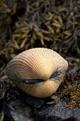 The common cockle (cerastoderma edule),Islay, Argyll and Bute. PIC: MARK HICKEN/SCOTTISH VIEWPOINT Tel: +44 (0) 131 622 7174   Fax: +44 (0) 131 622 7175 E-Mail : info@scottishviewpoint.com This photog... MARK HICKEN/SCOTTISH VIEWPOINT edule,cerastoderma,common,cockle,sea,seashore,burrowing,mud,sand,estuary,mollusc,bivalve,shell,seaweed,islay,scotland,scottish,british,nature,wildlife,animal,inner hebrides,island,shellfish