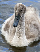Young Mute Swan (Cygnet) in boating pond in Biggar, South Lanarkshire.  PIC: ANDREW WILSON/SCOTTISH VIEWPOINT  Tel: +44 (0) 131 622 7174  Fax: +44 (0) 131 622 7175  E-Mail : info@scottishviewpoint.com... ANDREW WILSON/SCOTTISH VIEWPOINT scotland,Anatidae,waterbird,nature,natural history,summer,Cygnus olor