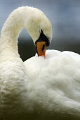 Swan in boating pond at Biggar, South Lanarkshire.  PIC: ANDREW WILSON/SCOTTISH VIEWPOINT  Tel: +44 (0) 131 622 7174  Fax: +44 (0) 131 622 7175  E-Mail : info@scottishviewpoint.com  This photograph ca... ANDREW WILSON/SCOTTISH VIEWPOINT scotland,Anatidae,waterbird,nature,natural history,summer,Cygnus olor
