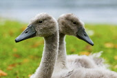 A Pair of Cygnets beside pond in Biggar, South Lanarkshire. PIC: ANDREW WILSON/SCOTTISH VIEWPOINT  Tel: +44 (0) 131 622 7174  Fax: +44 (0) 131 622 7175  E-Mail : info@scottishviewpoint.com  This photo... ANDREW WILSON/SCOTTISH VIEWPOINT young swan,scotland,Anatidae,waterbird,cygnet,nature,natural history,summer,Cygnus olor