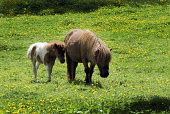 Pony and foal in a field near the river Tweed at Peebles in summer. PIC: ANDREW WILSON/SCOTTISH VIEWPOINT  Tel: +44 (0) 131 622 7174  Fax: +44 (0) 131 622 7175  E-Mail : info@scottishviewpoint.com  Th... ANDREW WILSON/SCOTTISH VIEWPOINT Scotland,Peebles,Horses,pony,Foal,Summer,meadow,horse riding,agriculture,calendar,farming,countryside,pony jumping,buttercup,Scottish Borders,River Tweed,Peebles-shire