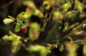 Bilberry (Vaccinium myrtillus). PIC: DEREK MITCHELL/SCOTTISH VIEWPOINT  Tel: +44 (0) 131 622 7174   Fax: +44 (0) 131 622 7175 E-Mail : info@scottishviewpoint.com This photograph cannot be used without... DEREK MITCHELL/SCOTTISH VIEWPOIN flora,plant,wild,berry
