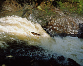 A SALMON LEAPING. PIC: PETER DAVENPORT/SCOTTISH VIEWPOINT Tel: +44 (0) 131 622 7174   Fax: +44 (0) 131 622 7175 E-Mail : info@scottishviewpoint.com This photograph can not be used without prior permis... FISH,WATERFALL,WATER,NATURE,MIGRATION,LEAP