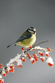 Blue Tit (Parus caruelus) perched on berry branch in winter. Cairngorms National Park, Scotland.