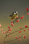 Blue tit (Parus caruelis) perched on berry branch in winter. Cairngorms National Park, Scotland.