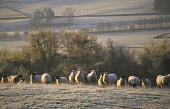 Sheep in a frosty winter morning landscape above Moniaive, Dumfries and Galloway, Scotland. ALLAN DEVLIN/SCOTTISH VIEWPOINT  Tel: +44 (0) 131 622 7174  Fax: +44 (0) 131 622 7175 E-Mail : info@scottish... ALLAN DEVLIN/SCOTTISHVIEWPOINT AGRICULTURE,WOOL,LIVESTOCK,LAMB,ICE,GRAZING,GRAZE,FARMING,FARM,EATING,EAT,COLD