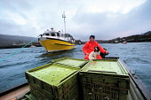 Fisherman John Macgregor transfers his catch to a landing jetty from the My Amber, after a day's fishing for prawns off Scotland's west coast in a marine 'box' in the inner sound of Rona which restric... COLINMCPHERSON/SCOTTISHVIEWPOINT INDUSTRY