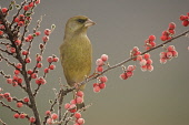 Greenfinch (Carduelis chloris) male perched on berry branch on frosty morning. Cairngorms National Park, Scotland. PIC: PETER CAIRNS/SCOTTISH VIEWPOINT Tel: +44 (0) 131 622 7174   Fax: +44 (0) 131 622... greenfinch,carduelis chloris,bird,avian,wildlife,male,adult,breeding plumage,green,finch,passerine,perched,cotoneaster,berries,winter,frosty,cold,Cairngorms National Park,Scotland,February,2005,Peter