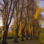 Autumn trees catching the evening sunset in the Crichton Gardens Dumfries Scotland UK PIC: ALLAN DEVLIN/SCOTTISH VIEWPOINT Tel: +44 (0) 131 622 7174   Fax: +44 (0) 131 622 7175 E-Mail : info@scottishv... autumn,autumnal,tree,trees,leaves,fallen,falling,fall,branch,branches,row,crichton,garden,gardens,sunset,light,catching,catch,colour,red,warm,warmth,managed,season,seasonal,image,paisley,univercity,du
