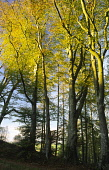 Autumn Mabie Forest near Dumfries Scotland UK sunset light catching the leaves on a beech tree PIC: ALLAN DEVLIN/SCOTTISH VIEWPOINT Tel: +44 (0) 131 622 7174   Fax: +44 (0) 131 622 7175 E-Mail : info@... tree,trees,wood,woods,forest,forestry,beech,leave,leaf,leaves,season,seasons,seasonal,commission,mabie,dumfries,scottish,scotland,uk,sunset,light,colour,colourful,colorful,color