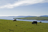 Cattle ANIMALS FARMING Cows in hillside field grazing above Scapa Flow PIC: DOUG HOUGHTON/SCOTTISH VIEWPOINT Tel: +44 (0) 131 622 7174   Fax: +44 (0) 131 622 7175 E-Mail : info@scottishviewpoint.com T... D HOUGHTON/SCOTTISHVIEWPOINT farming,grazing,beef,cattle,black,cows,fields,aberdeen,angus,scotland,scottish,farm,livestock,live,stock,domestic,raised,rearing,bred,bovine,bovinae,bovidae,steer,agriculture,farmland,land,meadow,gras