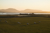 Loch of Harray HARRAY ORKNEY Bronze dusk sheep in field farmhouse and Hoy hills PIC: DOUG HOUGHTON/SCOTTISH VIEWPOINT Tel: +44 (0) 131 622 7174   Fax: +44 (0) 131 622 7175 E-Mail : info@scottishviewpo... D HOUGHTON/SCOTTISHVIEWPOINT orkney,harray,loch,countryside,dusk,sheep,field,bronze,farmhouse,country,building,season,side,scotland,scottish,house,rural,farmstead,stead,farm,ewes,wooly,ovis,ovine,animals,livestock,live,stock,dome