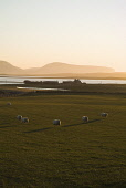 Loch of Harray HARRAY ORKNEY Bronze dusk sheep in field farmhouse and Hoy hills PIC: DOUG HOUGHTON/SCOTTISH VIEWPOINT Tel: +44 (0) 131 622 7174   Fax: +44 (0) 131 622 7175 E-Mail : info@scottishviewpo... D HOUGHTON/SCOTTISHVIEWPOINT orkney,harray,loch,countryside,dusk,sheep,field,bronze,farmhouse,country,building,season,side,scotland,scottish,house,buildings,rural,farmstead,stead,farm,ewes,wooly,ovis,ovine,animals,livestock,live,