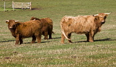 Highland cattle.  PIC: ANDY BENNETTS/SCOTTISH VIEWPOINT  Tel: +44 (0) 131 622 7174  Fax: +44 (0) 131 622 7175  E-Mail: info@scottishviewpoint.com  Web: www.scottishviewpoint.com  This photograph canno... ANDY BENNETTS/SCOTTISH VIEWPOINT Agriculture,Animals,Cow,Farm,Farming,Places|East Lothian,Places|North Berwick,Places|Lowlands,Places|Scotland,Other Keywords|East Lothian,Other Keywords|Viewpoint,Type of photograph|North Berwick Law,
