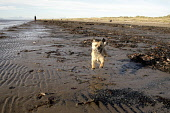General pics of Troon, Ayrshire, Scotland A wee dog running on the beach PIC: IAIN MCLEAN/SCOTTISH VIEWPOINT Tel: +44 (0) 131 622 7174  Fax: +44 (0) 131 622 7175  E-Mail : info@scottishviewpoint.com... Public, NMR Iain McLean,Troon,ayrshire,animal,fun,jump