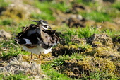 Lapwing ruffling feathers in the Lammermuir Hills PICTURE CREDIT  : PETER J CLARKE / SCOTTISHVIEWPOINT TEL 0131 622 7174 EMAIL info@scottishviewpoint.com WEB www.scottishviewpoint.com THIS PICTURE CAN... Public, NMR Vanellus vanellus,farm,farmland,feathers,lammermuirs,land,lapwing,moor,moorland,ruffling