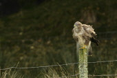 Common Buzzard ruffling feathers perched on fencepost on the Isle of Mull PICTURE CREDIT  : PETER J CLARKE / SCOTTISHVIEWPOINT TEL 0131 622 7174 EMAIL info@scottishviewpoint.com WEB www.scottishviewpo... Public, NMR Accipitridae,BIRD OF PREY,PREDATOR,RAPTOR,buteo,buzzard,common,farm land,farmland,feathers,fence,isle of mull,perch,perched,post,ruffling
