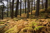Woodland in a ravine named Coire MhicNobaill, found at the edges of Torridon Forest.  Scot's pine (Pinus sylvestris) trees are surrounded by masses of Bracken (Pteridium aquilinum), which turn vivid o... Public, NMR autumn,bracken,conifer,coniferous,flora,forest,glen,highlands,leaves,national nature reserve,orange,pine,scotland,torridon,tree,trees,valley,woodland,woodlands