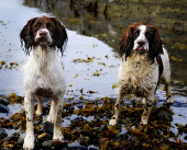 Spaniels play on the foreshore at Inverie, Knoydart, Highland. PIC: Mike Brookes Roper / Scottish Viewpoint TEL: +44 (0) 131 622 7174 Fax: +44 (0) 131 622 7175 E-MAIL: info@scottishviewpoint.com WEB:... Public, NMR pet,dogs,water,coast,muddy,mucky