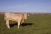 Bull ANIMALS FARMING Charolais bull in field Sanday Orkney  Pic: Doug Houghton / Scottish Viewpoint Tel: +44 (0) 131 622 7174 Fax: +44 (0) 131 622 7175 E-Mail: info@scottishviewpoint.com Web: www.scot... Public farm,animal,charolais,bull,field,pedigree,purebred,scotland,scottish,cow,beef,bovine,bovinae,bovidae,herbivore,herbivorous,bullock,steer,domestic,herd,cowherd,agriculture,livestock,live,stock,domestic